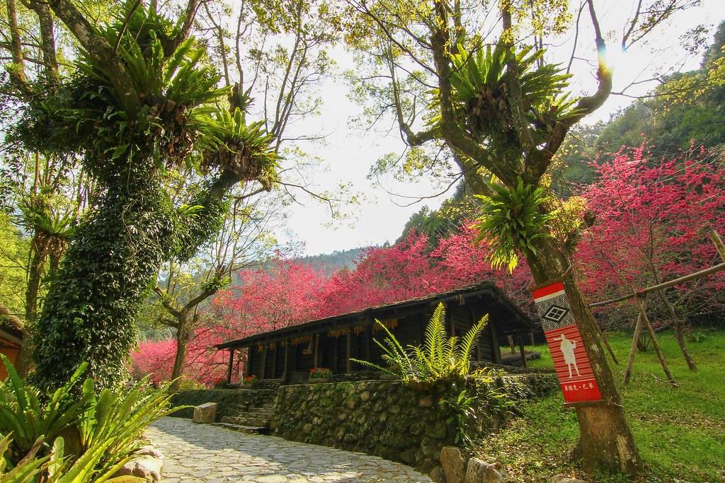 九族櫻花祭 (20)