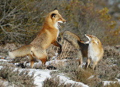 Red Fox courtship