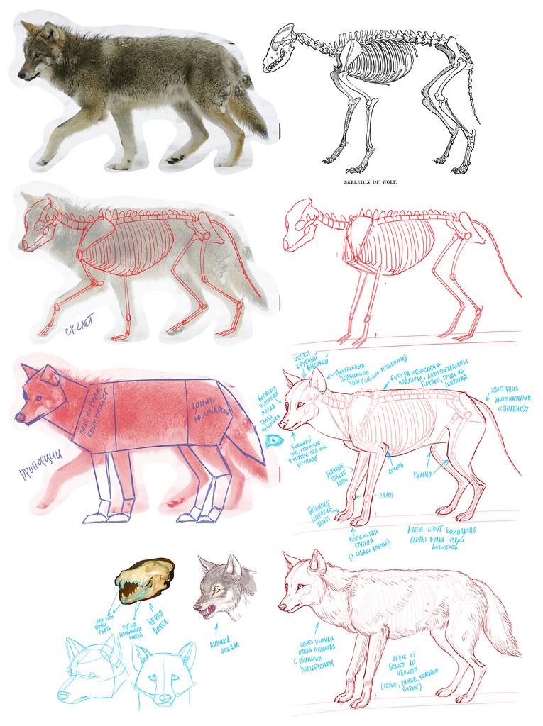 рисуем-волка
