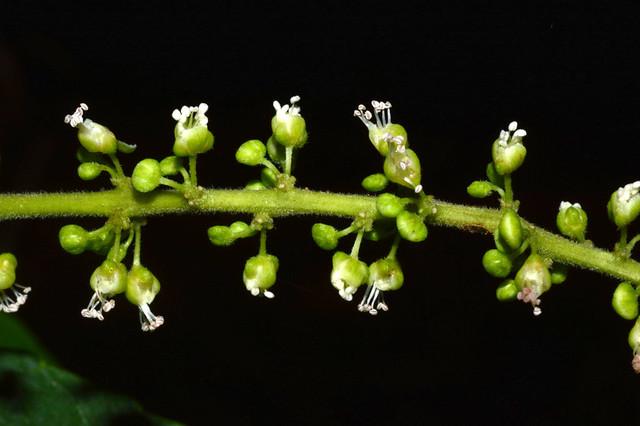 Allophyllus cobbe DSC_0383 (6)