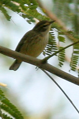 palm warbler IMG_1738b