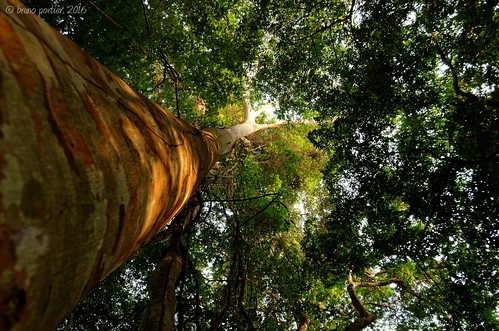 africa african landscape paysage congo brazzaville lesiolouna lacbleu afrique bruno brunoportier nikon iboubikro d7000 arbre canopée canopy tree trunk forest foret tropicale tropical forêt