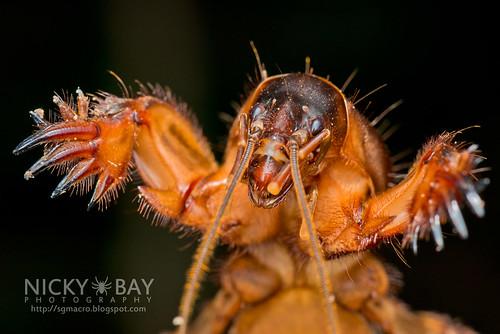 Mole Cricket (Gryllotalpidae) - DSC_1264