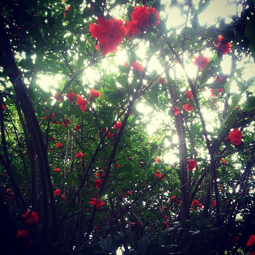 Pomegranate trees just send me...