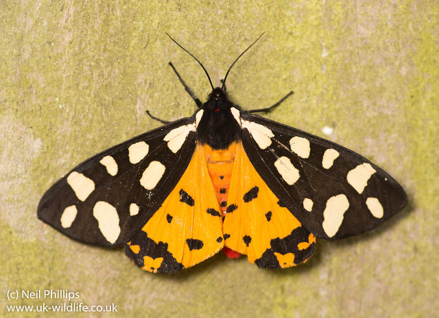 Cream spot tiger moth Epicallia villica-6