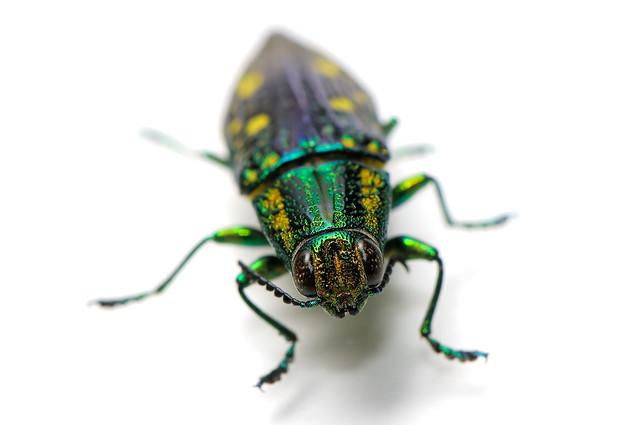 Nipponobuprestis amabilis