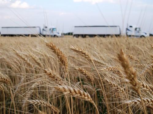 Trucks waiting near the wheat