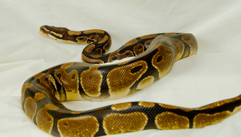 Ball Python (Python regius)_10