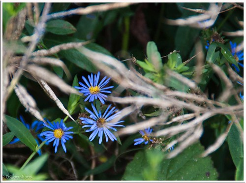 BlueFlowers