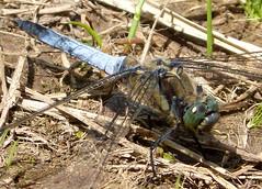 Black-tailed Skimmer. Orthetrum cancellatum. Mature male.