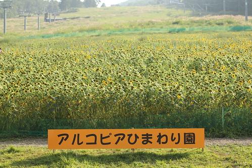 20130816 アルコピアひまわり畑