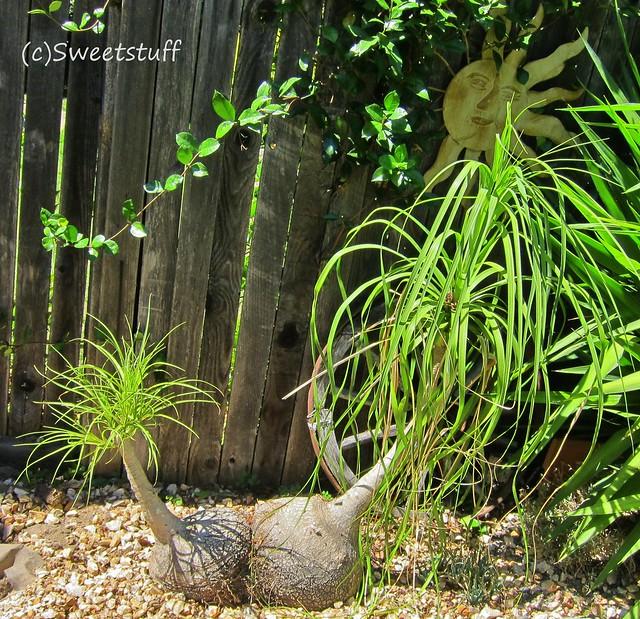 Dr. Seuss the Ponytail Palm