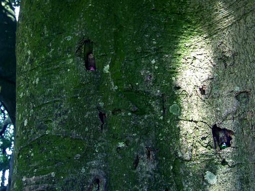 Avebury beeches 9