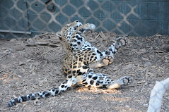 ocelot(0.0), wildlife(0.0), animal(1.0), snow leopard(1.0), big cats(1.0), leopard(1.0), zoo(1.0), mammal(1.0), jaguar(1.0), fauna(1.0),