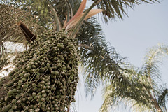 shrub(0.0), borassus flabellifer(0.0), coconut(0.0), flower(0.0), plant(0.0), crop(0.0), elaeis(0.0), spruce(0.0), date palm(1.0), arecales(1.0), palm family(1.0), branch(1.0), tree(1.0), flora(1.0), produce(1.0), fruit(1.0), food(1.0),