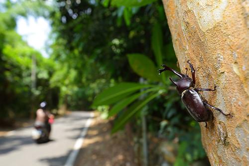 光臘樹的樹幹,是獨角仙最喜歡聚集的地方,在上頭除了可以觀察到啃樹皮之外,有時候也會見到牠們打架或者交配求偶。