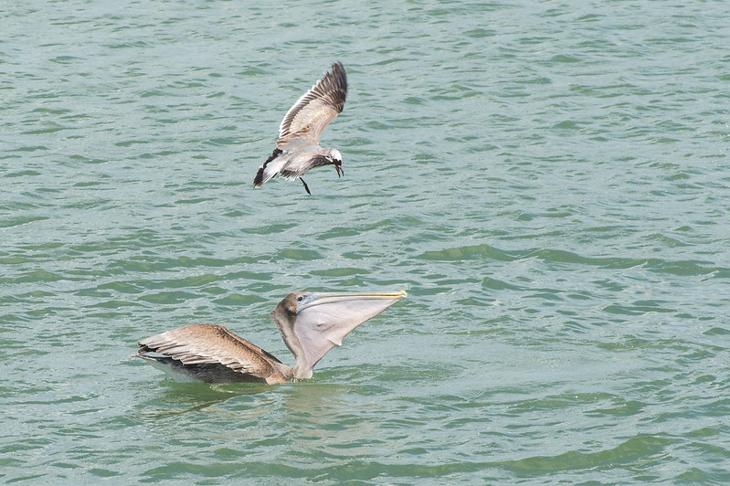 Seagull attacking brown Pelican