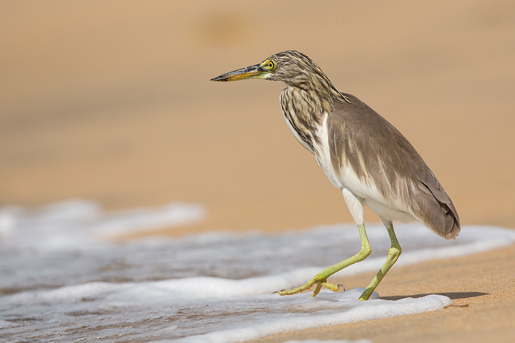 Indian Pond Heron 2013-12-04 (7)