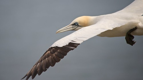Gannet in-flight I