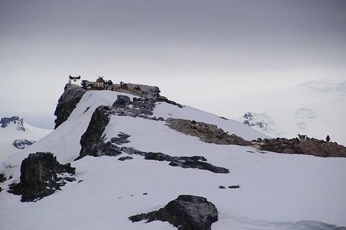 120 Wandeling Halfmoon Island - Aalscholvers