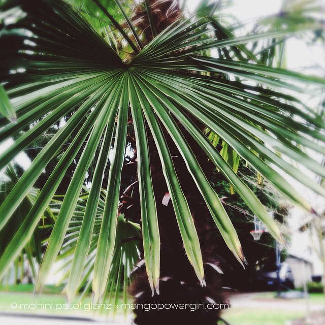 fanning palm tree