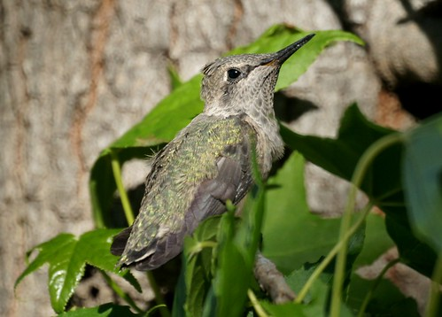 Hummingbird Fledgling