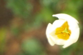 Close up of white tulip in Mejo park No.1.