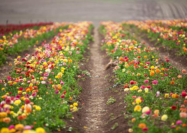 ranunculus, flowers of Israel, field, קטיף נוריות קדמה, נוריות, פרחי ארץ ישראל