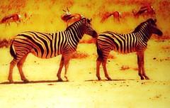animal, zebra, mammal, fauna, savanna,