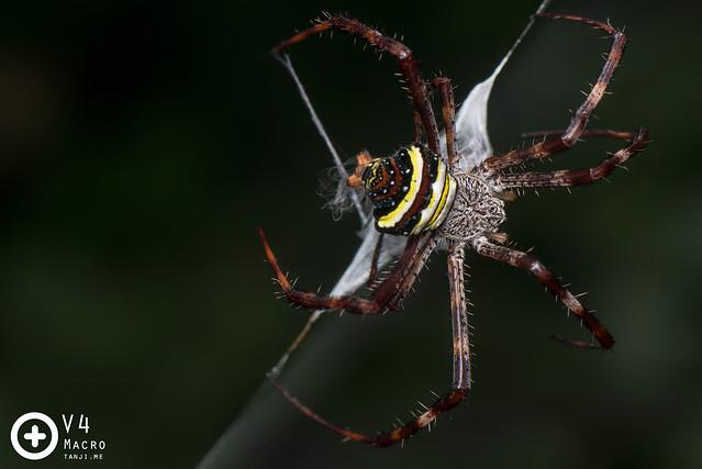 Argiope versicolor web wrapping