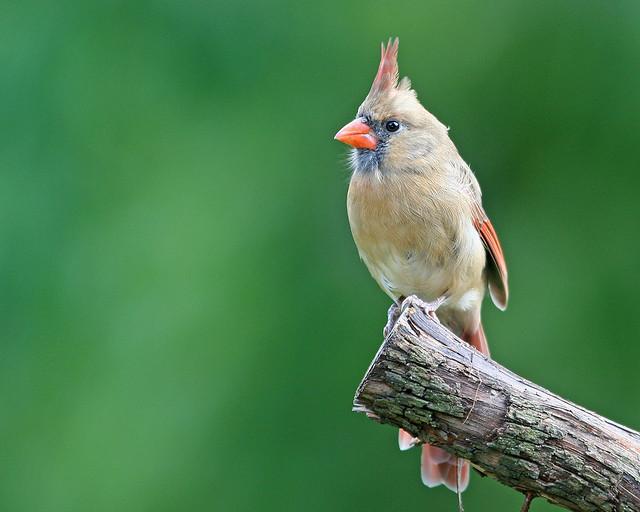 Cardinal Northern Female 20d _2562