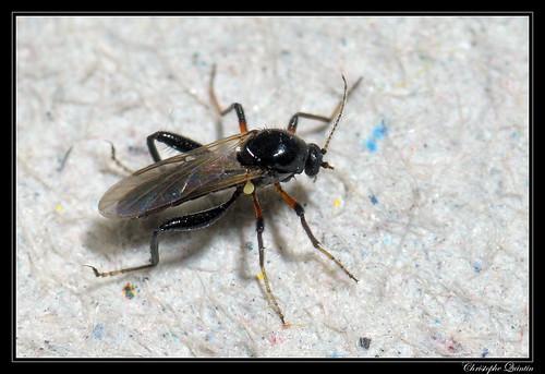 Serromyia sp. (Serromyia subinermis ?)