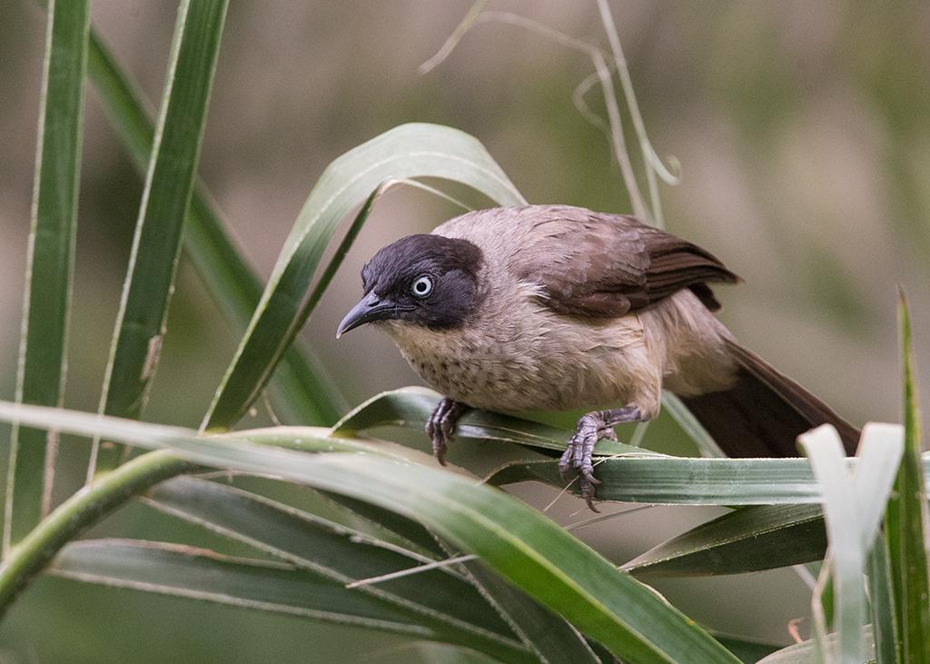 Blackcap Babbler Gambia