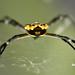 Silver Garden Spider from behind (Argiope argentata) por Thomas Roland