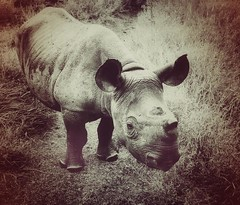 SAVE THE RHINO!  Rhino Friday
