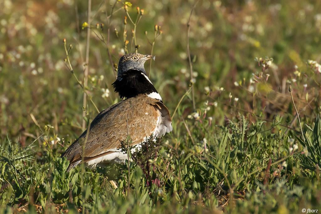 un oiseau - ajonc - 5 mai trouvé par Martine bravo 26666187224_f3c94de067_b