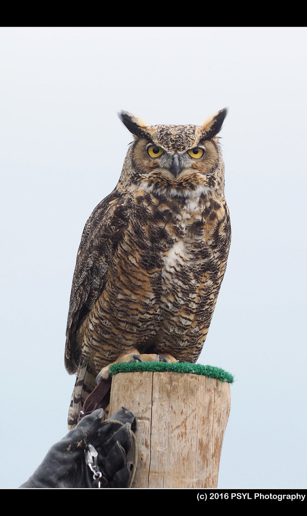 Darwin the Great Horned Owl (Bubo virginianus)