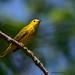 Paruline jaune ♂ / Yellow Warbler