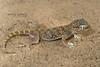 Middle Eastern Short-fingered Gecko Stenodactylus doriae