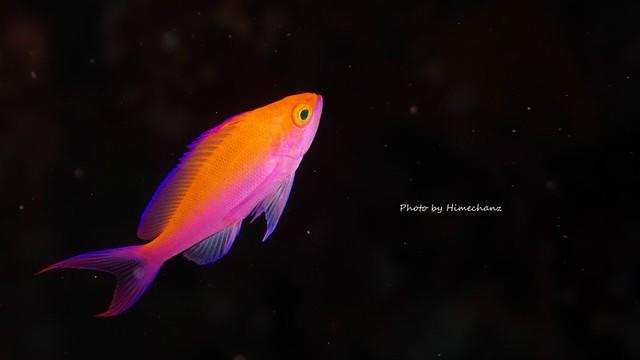 キレイな小魚は黒抜きで撮影したいですね♪ フタイロハナゴイ幼魚