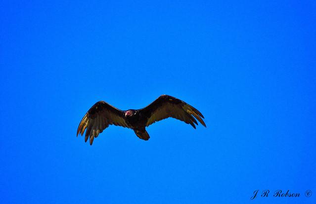 Turkey Vulture, Nikon D3200, Nikkor 45mm f/2.8 P
