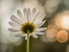 Marguerite dreaming