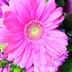 asterales, annual plant, flower, plant, gerbera, pink, petal,