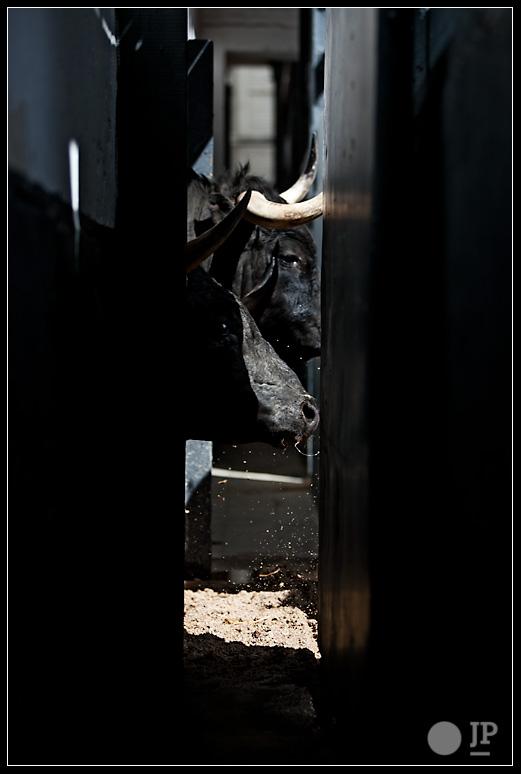 toros-de-los-bayones-por-las-puertas