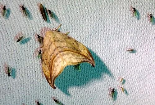 Drepana arcuata - Arched Hooktip moth (Drepanidae) - on a sheet with TONS of flies.
