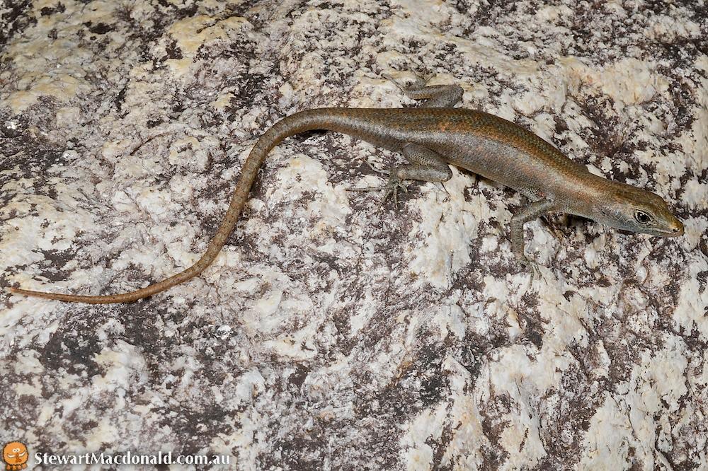 Coen rock-skink (Liburnascincus coensis)
