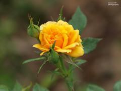 Miniature Gingerbread Rose