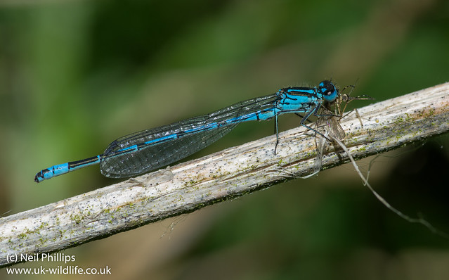 Azure blue damselfly eating a mosquito