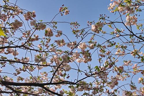 【写真】2013 桜 : 梅宮大社/2019-06-14/IMGP0216