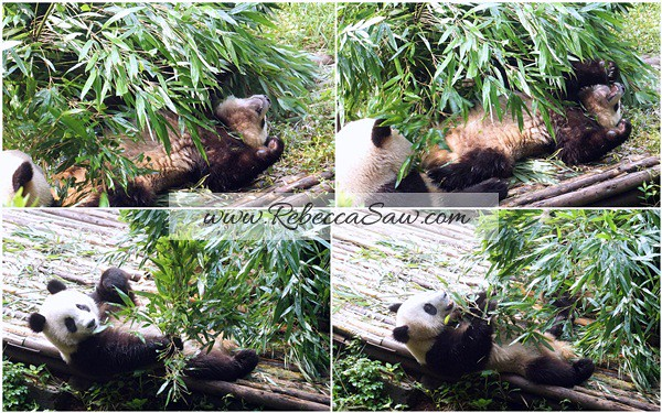 Chengdu - Panda Breeding Farm-024